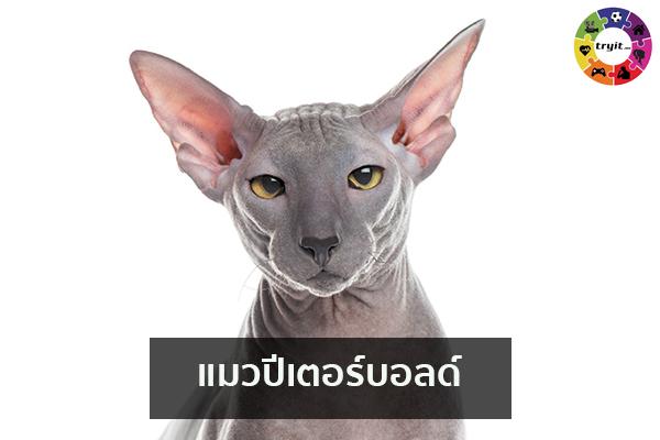 แมวปีเตอร์บอลด์ เทรนใหม่ ไลฟ์สไตล์ ข่าวสาร ความรู้ ความบันเทิงกีฬา